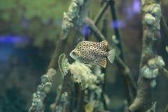 Prickigt försvinna snabbt fisken eller Scatophagus argus Royaltyfri Bild