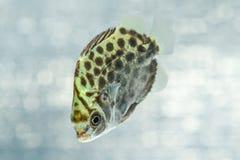 Prickigt försvinna snabbt (Scatophagus Argus) Arkivfoto