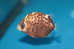 Prickigt försvinna snabbt (Scatophagus argus) den saltvattens- akvariefisken Fotografering för Bildbyråer