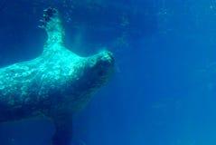 Prickigt hav Lion Swimming Underwater Arkivfoto
