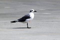 Prickigt huvud för Seagull Arkivbild