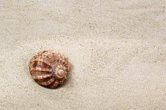 prickigt sandhavsskal Arkivfoto
