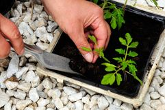 Pricking out tomato seedlings. Stock Image