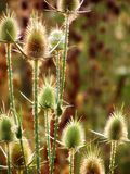 Prickle01 Fotografia Stock