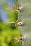 Prickles of a cactus Royalty Free Stock Image