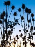 Prickles roślina na tle niebo obraz royalty free
