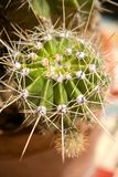 Prickly. Green cactus with long needles in a brown pot Royalty Free Stock Images