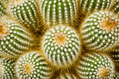 Prickly Royalty Free Stock Image