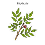 Prickly ash Zanthoxylum americanum , Stock Photo