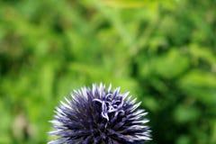 Prickly bloom. Detail of grey prickly bloom royalty free stock photos
