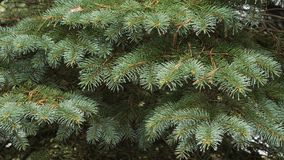 The prickly branches of the fir-tree sway in the wind. The prickly branches of the fir-tree sway in the wind stock video footage