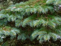 The prickly branches of the fir-tree sway in the wind.  stock images