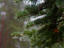 The prickly branches of the fir-tree sway in the wind.  royalty free stock image
