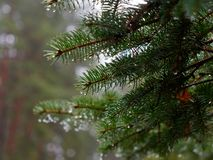 The prickly branches of the fir-tree sway in the wind.  stock image