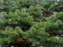 The prickly branches of the fir-tree sway in the wind.  royalty free stock images