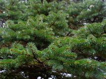 The prickly branches of the fir-tree sway in the wind.  stock photo