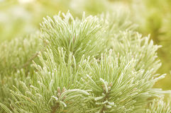 Prickly branches of a fur-tree or pine Stock Images