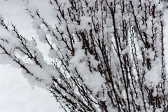 Prickly branches in snow close up in winter forest. Freeze and snow bachround. Winter weather concept. Christmas concept royalty free stock images