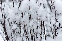 Prickly branches in snow close up in winter forest. Freeze and snow bachround. Winter weather concept. Christmas concept. Winter beauty stock images