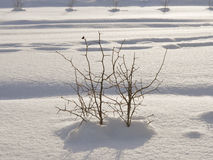 Prickly bush in snow. The bush costs among snow Stock Photo