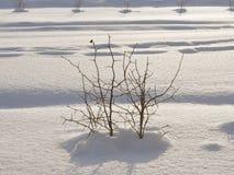 Prickly buske i snow Arkivfoto