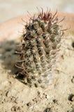 Prickly cactus closeup shot Stock Photo