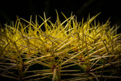 Prickly Cactus Stock Images