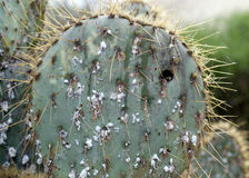 Prickly cactus infested with scale insects Stock Image