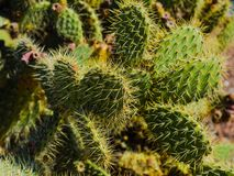 Prickly cactus. In seaside park Royalty Free Stock Photography