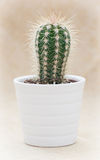 Prickly cactus in a white flower pot Royalty Free Stock Photos