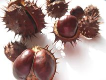 Prickly chestnuts Stock Images