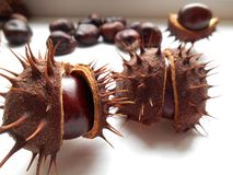 Prickly chestnuts Stock Photos