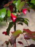 Prickly fall Oregon Grape Stock Photography