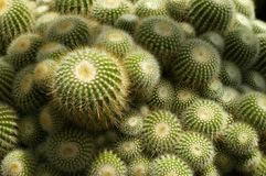 Prickly Green Cactus Royalty Free Stock Photos