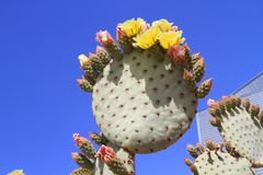 USA, Arizona: Prickly Pear Cactus > Prickly Hair Royalty Free Stock Photography