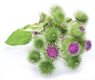 Prickly heads of burdock flowers. Prickly heads of burdock flowers on a white background royalty free stock images