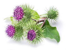 Prickly heads of burdock flowers on a white. Prickly heads of burdock flowers on a white background royalty free stock photo