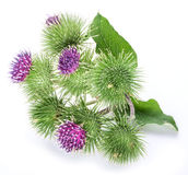 Prickly heads of burdock flowers. Prickly heads of burdock flowers on a white background royalty free stock photography