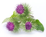 Prickly heads of burdock flowers on a white. Background stock photo