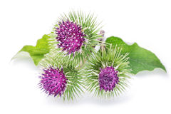 Prickly heads of burdock flowers. Prickly heads of burdock flowers on a white background royalty free stock image