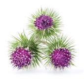 Prickly heads of burdock flowers. Prickly heads of burdock flowers on a white background stock photo