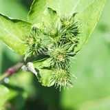 Prickly heads of greater burdock plant close up Stock Images