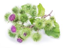Free Prickly Heads Of Burdock Flowers. Stock Photography - 100259772