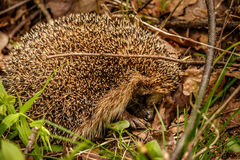 Prickly hedgehog curled into a ball in the woods stock photo