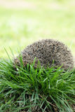 Prickly hedgehog, on the grass Stock Images