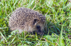 Prickly hedgehog in green grass Royalty Free Stock Photo