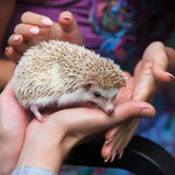 Prickly hedgehog in the hands of people Royalty Free Stock Photography