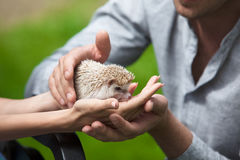 Prickly hedgehog in the hands of people Stock Photography