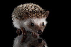 Prickly hedgehog isolated on Black Background royalty free stock image