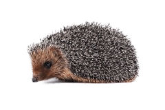 Prickly hedgehog isolated on a white background. Prickly hedgehog isolated, on a white background Royalty Free Stock Photo